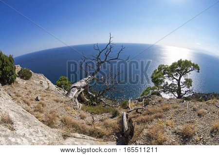 Dead relict pine on the background of the sea. Fish Eye lens view. Crimea; September.