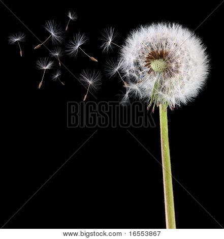 Dandelion loosing its seed in the blowing wind