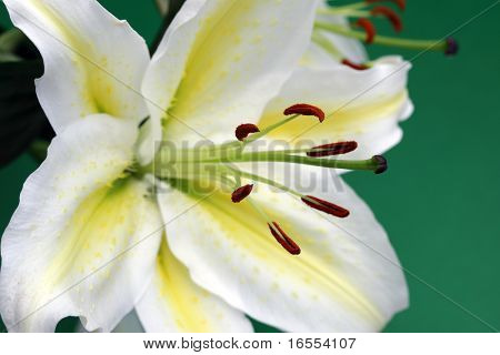 Close up Japanese lily in full bloom on green background - focus on stamen