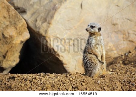 Meerkat watching for predators as he guards the entrance to his home