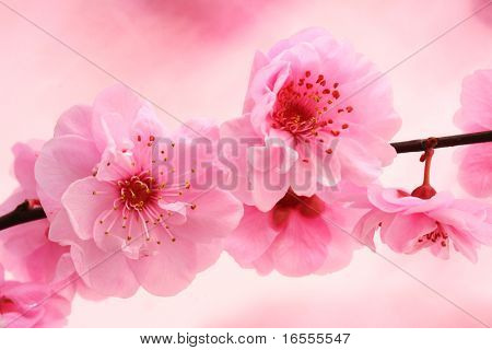 Fresh, spring tree blossoms on pink background.