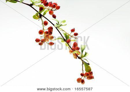 FRUTAS BERRIES silvestres pequeñas aisladas sobre fondo blanco