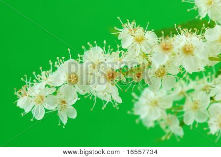 False spirea