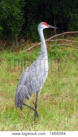 BIG SANDHILL CRANE IN RURAL CENTRAL