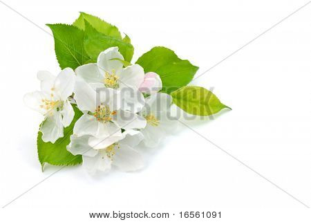 Apple Flower isolated on the white