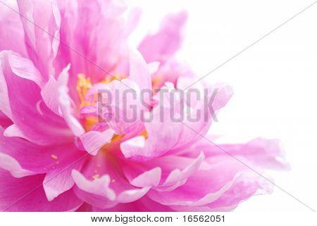 Close up on peony flower