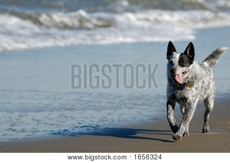 Australian Cattle Dog Running By The Bay