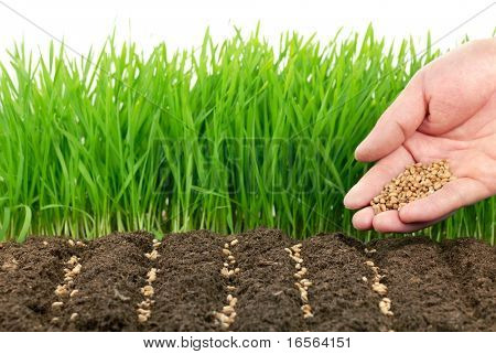 Young hand sowing wheat seeds in front wheat plant