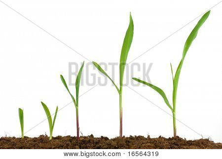 Corn seedling growing,Isolated on white.