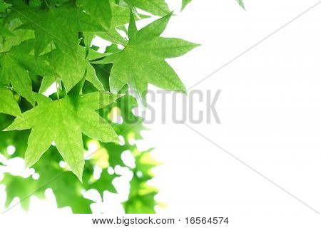 Fresh maple leaf on white background