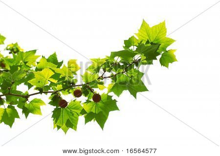 Young platan leaves and fruits,Isolated on white background.