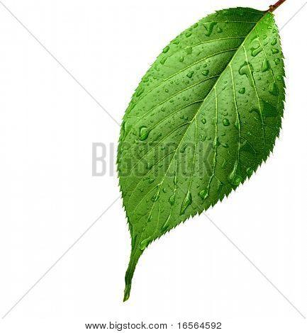 Grüne Blatt mit Wassertropfen, Closeup.
