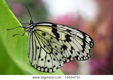 Closeup of idea leuconoe butterfly