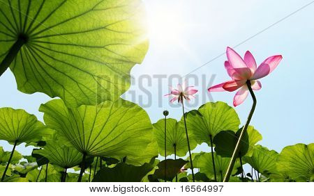 Lotus against blue sky.