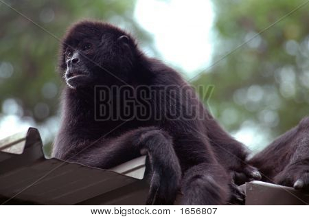 Orangutan lazily sitting on the roof