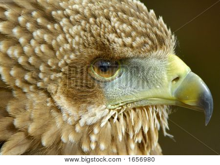Bateleur Eagle Juvenile Portrait 1