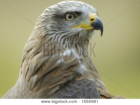 Black Kite Portrait