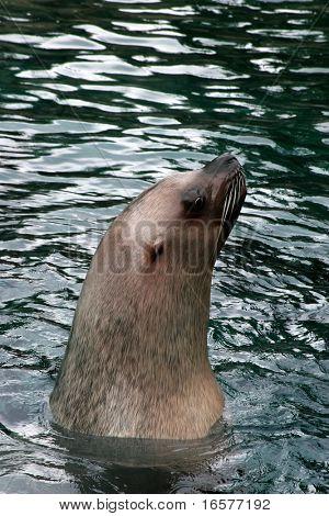 Sea lion surfacing