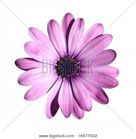Lila Blüte mit Beschneidungspfad auf weiß isoliert