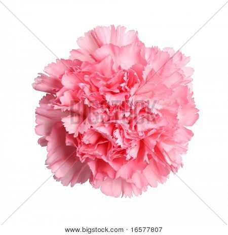 Beautiful pink carnation flower isolated on white with a very detailed hand drawn clipping path for easy masking