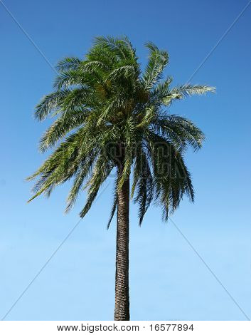 Healthy palmtree against a blue sky