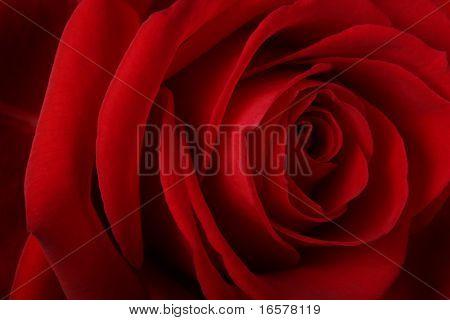 Macro close-up of a beautiful red rose