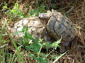 stock photo of coitus  - sex moment of tortoises - JPG