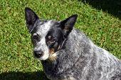 image of blue heeler  - Pedigree Australian Blue Cattle Dog - JPG