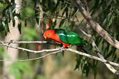 image of king parrot  - Male Australian King Parrot in natural habitat - JPG