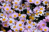 stock photo of feverfew  - the daisy in the garden - JPG