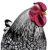 Silver Laced Wyandotte Chicken (Cockerel)
