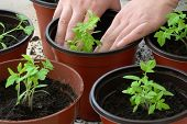 image of tomato plant  - Planting tomato seedlings in pots - JPG