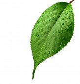 stock photo of green leaves  - Green leaf with water droplets - JPG