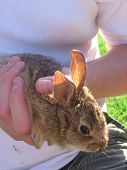 stock photo of choctaw  - An eastern cottontail caught in Choctaw Oklahoma and released after the photograph - JPG