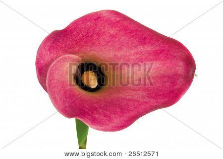 Floer Of Calla Lily Or Zantedeschia Aethopica