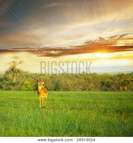 antelope Gemsbok