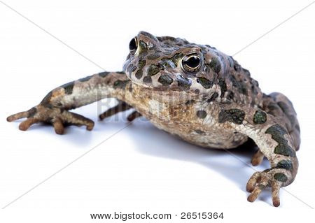 Common Toad, (bufo Bufo, Bufo Vulgaris, Bufo Cinereus)..