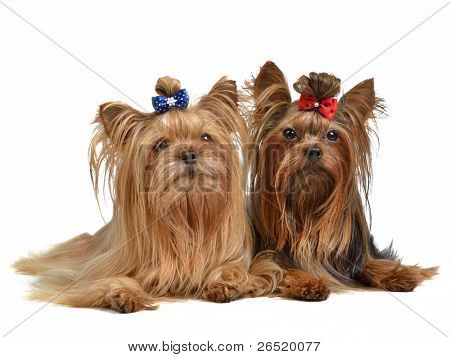 Two Yourkshire Terriers, isolated on white background
