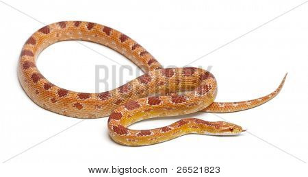 Albinos Okeetee maíz serpiente, serpiente rata de rojo, Pantherophis guttatus, frente fondo blanco