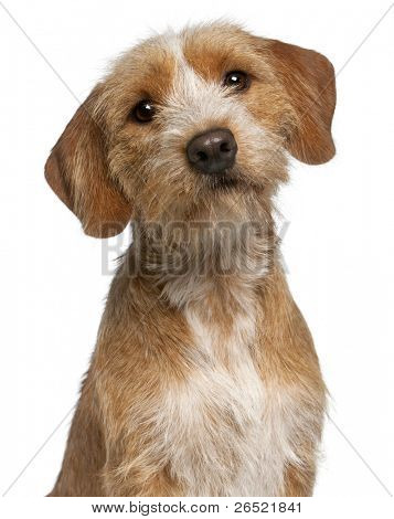 Close-up of Basset Fauve de Bretagne, 1 year old, in front of white background