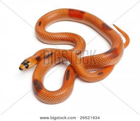 Tricolor Patternless Honduran milk snake, Lampropeltis triangulum hondurensis, in front of white background