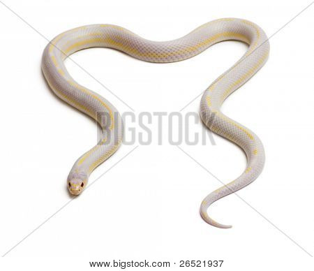 Albinos banana eastern kingsnake or common kingsnake, Lampropeltis getula californiae, in front of white background