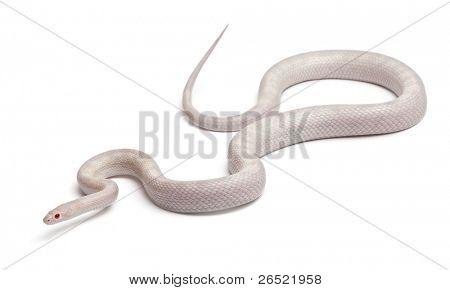 Opale maíz serpiente o serpiente rata de rojo, Pantherophis guttatus, frente fondo blanco