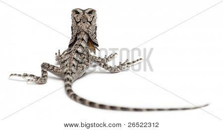 Colonel necked Eidechse Rüschen Lizard Chlamydosaurus Kingii, vor der weißen backg
