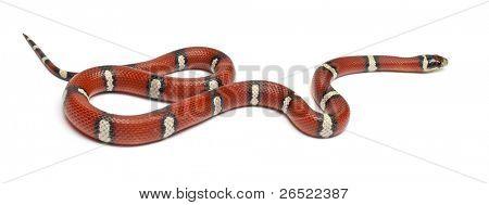 Milk snake or milksnake, Lampropeltis triangulum nelsoni, in front of white background