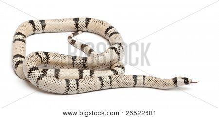 Ghost Honduran milk snake, Lampropeltis triangulum hondurensis, in front of white background