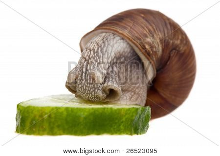 Snail Eating Cucumber