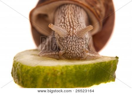 Eating Snail Closeup