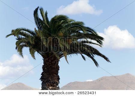 Palm Tree, Montana Roja en el fondo, lanzarote, España