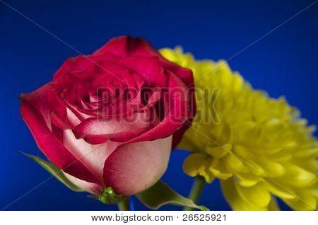 Rose - Close Up